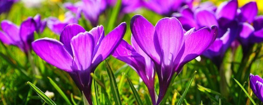 zdjęcie przedstawia wiosenne kwiaty krokusy na łące. Są to kwiaty o delikatnych płatkach, które otwierają się tylko w słońcu. Symbolizują wiosnę, życie i radość.