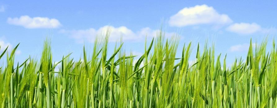zielone trawy na tle niebieskiego nieba z białymi chmurami.