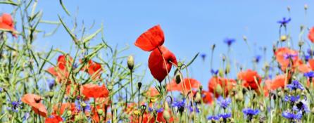 rosnące na łące polne kwiaty - maki, chabry. w tle bezchmurne niebieskie niebo.
