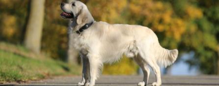 duży jasnobeżowy pies stoi na parkowej alejce